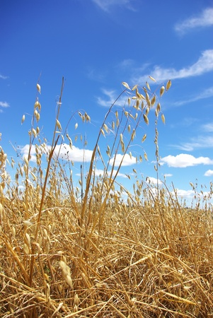 oat plant: Yellow  spikes of oats.