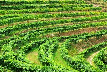 Vineyard of alvarino wine, Minho, Portugal. Standard-Bild