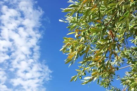 Green olives on tree photo