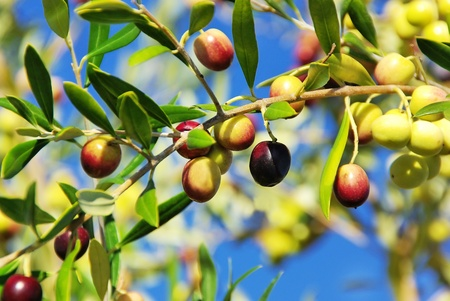 tree farming: Olives on branch at Portugal. Stock Photo
