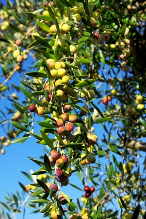 Olives on branch at Portugal. photo