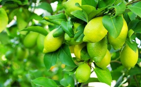 Green lemons on tree