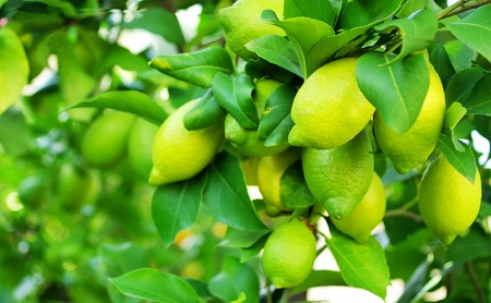 Green lemons on tree photo