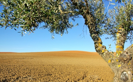 Olive tree  in the cultivated field photo