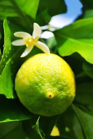 citrus tree: Green lemon on lemon tree.