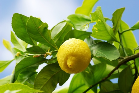 lemon tree: Yellow lemon on lemon tree.