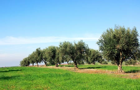 Olives tree at Portugal
