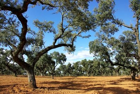 bosque de encino en la región mediterránea Foto de archivo - 12760113