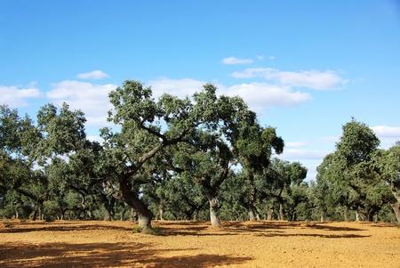 mediterranean forest: oak forest at mediterranean region