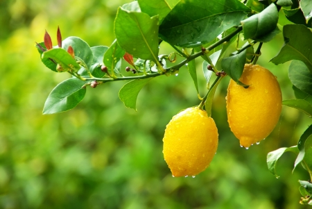 lemon tree: yellow lemons hanging on tree Stock Photo