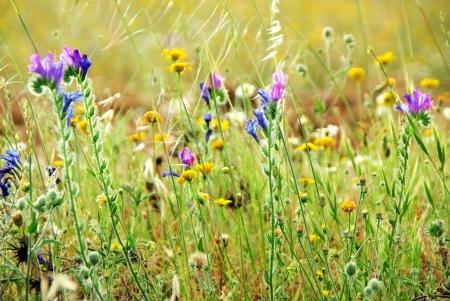 Wilde Blumen auf Portugiesisch Feld Standard-Bild - 13719698