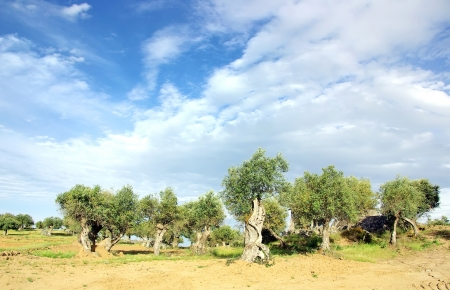 Old olive grove at Portugal photo