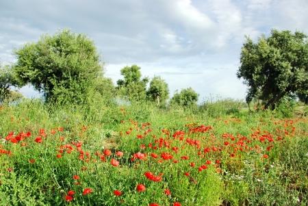 arboleda: Poppys rojas en el olivar
