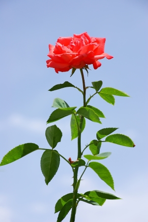 long stem roses: Red rose and blue sky