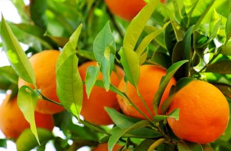 tangerine tree: Mature oranges on tree