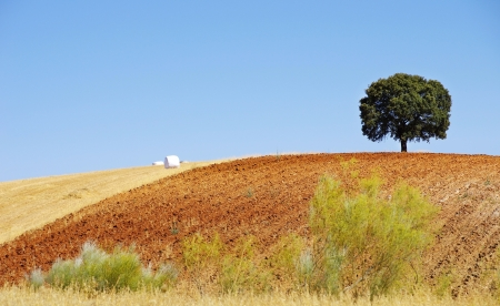 alentejo: Lonely tree at alentejo region, Portugal