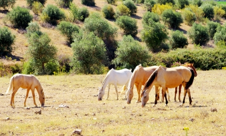 Horses grazing in dry field photo