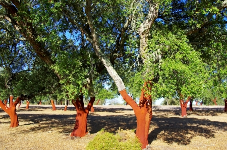 stripped: Cork Trees Stripped at Portugal Stock Photo