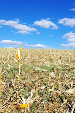 stubble: Stubble with corn cobs on the ground Stock Photo