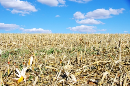 stubble: Stubble with corn cob on the ground Stock Photo