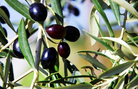 olive farm: Ripe olives on branch