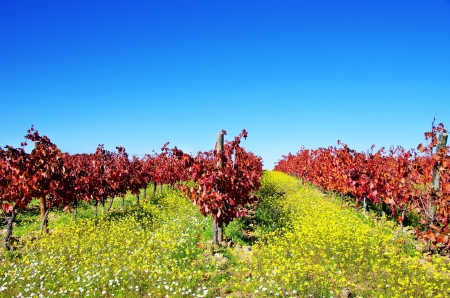 alentejo: Autumn vineyard at Portugal, alentejo region