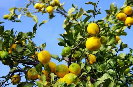 Fruits of  lemon on a branch photo