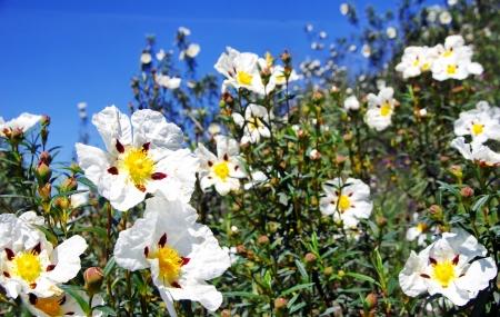 Rockroses at portuguese field