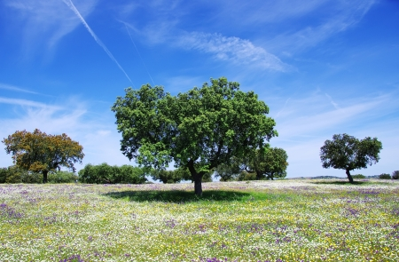 Oak trees on spring at Portugal photo