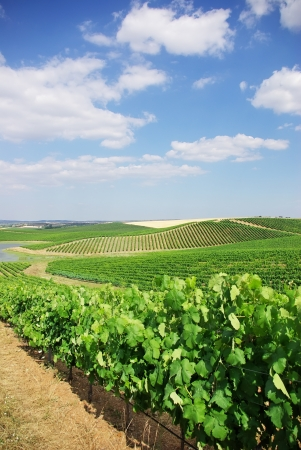alentejo: Vineyard at Portugal, Alentejo region.