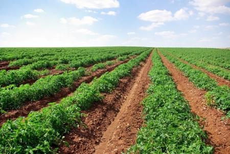 Reihen von Tomaten, Portugal Standard-Bild - 23832776