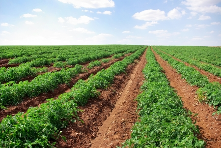 Rijen van tomaten, Portugal Stockfoto - 23832776