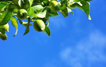 citrus tree: Green lemons on branch