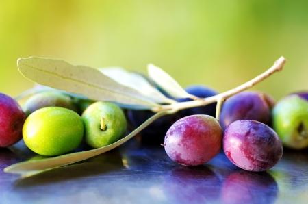 olivo arbol: Aceitunas maduras, aceitunas en rama de olivo Foto de archivo