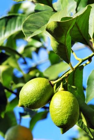 citrous: Two lemons on tree