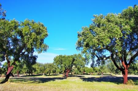corcho: árbol de corcho en Portugal, región del Alentejo