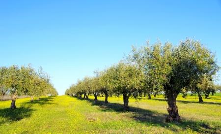 geel veld en olijfboom