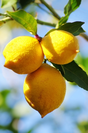 lemon tree:  lemons on lemon tree in nature Stock Photo