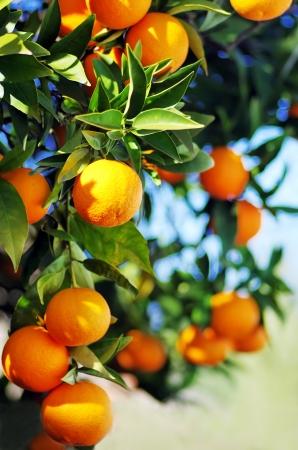 Reife Orangen hängen am Baum Standard-Bild - 25325879