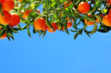 Ripe oranges on sky