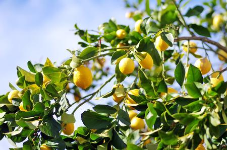 Zitronen auf Zitronenbaum Standard-Bild - 26559110