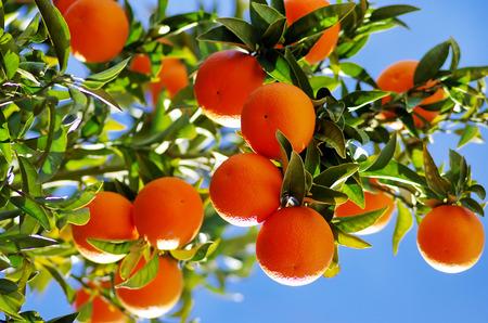 Rijpe sinaasappelen op tak