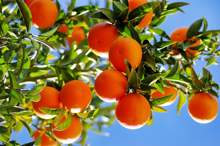 Ripe oranges on branch Stock Photo