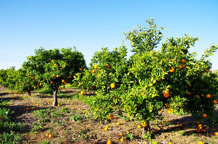 Orange boomgaard in het zuiden van Portugal