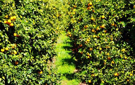 Takken met de vruchten van de sinaasappelbomen, Portugal