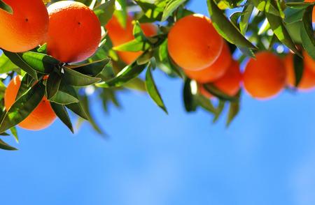 Rijpe sinaasappelen op de blauwe hemel Stockfoto