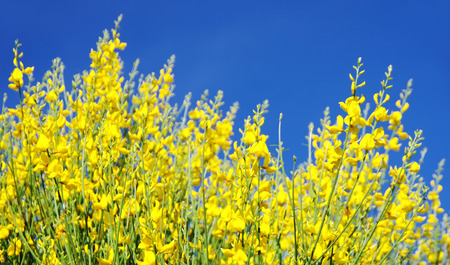 wild genista flowers background photo