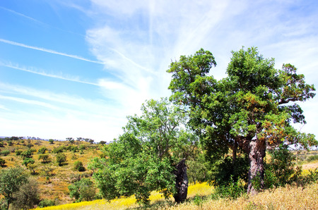 mediterranean forest:  Oak trees in forest at Portugal.  Stock Photo