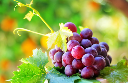 tannin: ripe grapes with green leaves Stock Photo