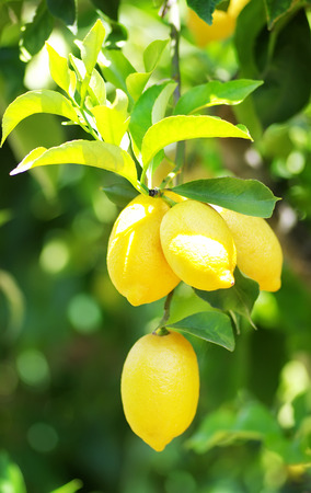 Bunch of ripe lemons on tree photo